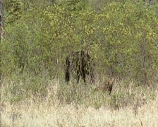 Moose (alces alces) with calf in willow landscape, Banff National Park, Canada Stock Footage