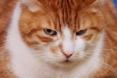 Stock Photo of portrait of red and white haired cat .