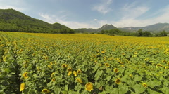 Sunflower field aerial view - stock footage