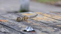 A little chipmuck looks food on a desk Stock Footage