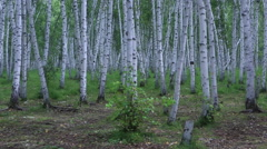 Pan Shot of braches of silver birch at a birchforest Stock Footage