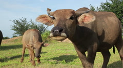 Water buffalo looking at camera and come forward Stock Footage