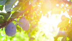 Ripe plum fruit on a branch in orchard Stock Footage