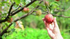 Hand picking ripe apple fruit from a branch - stock footage