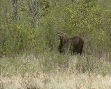 Moose (alces alces) eating young shoots and leaves of willow Stock Footage