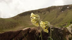 Soft yellow primrose blooms in the mountains in the first stones Stock Footage