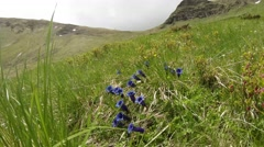 Velvet blue flowers in the form of bells in the green grass in the mountains Stock Footage