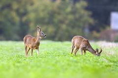 Two bucks deer in the wild Stock Photos
