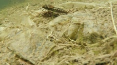 Dragonfly larvae underwater swims Stock Footage