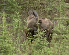 Moose bull (alces alces) foraging on willow - on camera. Banff National Park Stock Footage