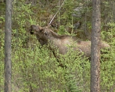 Moose bull (alces alces) foraging on young shoots of willow - side view Stock Footage
