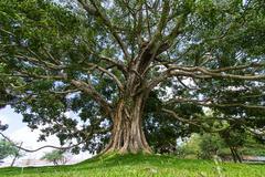 Giant bodhi tree, anuradhapura, sri lanka Stock Photos