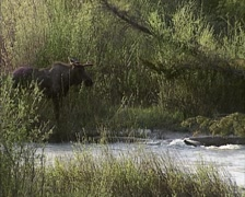Moose bull (alces alces) foraging on young shoots of willow along stream Stock Footage
