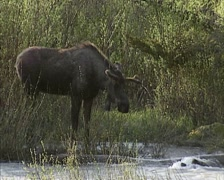 Moose bull (alces alces) foraging along stream - medium shot Stock Footage