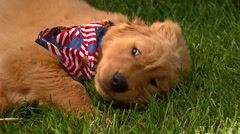 Puppy with American Handkerchief Stock Footage