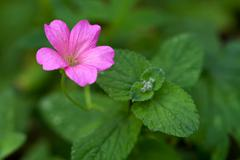 Endres cranesbill with leaves (lat. Geranium endressii) Stock Photos