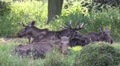 Group of Elks - Moose sitting together and resting in grassland Footage