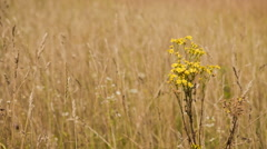 Yellow flowers among the dry grass in summer field Stock Footage