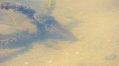 Tadpole Swimming Around Pond Plants Stock Footage