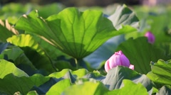 Lotus field at Ueno Park, Tokyo, Japan Stock Footage