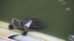 Turtles swimming at Ueno Park, Tokyo, Japan Stock Footage