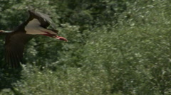 Black stork fishing fish in the mountain river flapping with wings. HD - stock footage