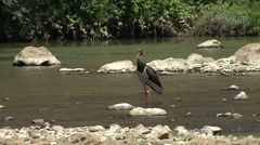 Black stork fishing fish in the mountain river flapping with wings. HD Stock Footage