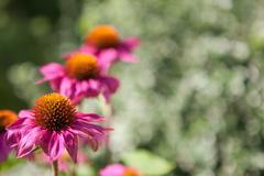 Blooming echinacea flowers Stock Photos