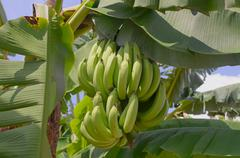 A bunch of  bananas on the tree Stock Photos