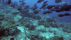 Whitetip reef shark and school of surgeonfish Stock Footage