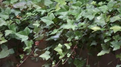 Ivy Green Leaves Nature Background Stock Footage