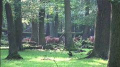 4k Red Deers horde in oak and beech forest at sunny summer day Stock Footage