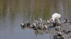 White ibis searches for food in mud Stock Footage