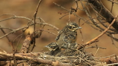 Redwing bird nestling on edge of nest preening plumage audio recording Stock Footage