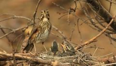 Redwing bird feeding collecting dirt from nestlings audio recordings Stock Footage