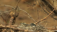 Redwing bird nestlings audio recordings Stock Footage