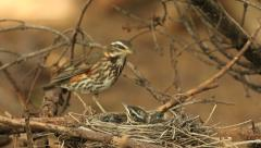 Redwing bird watching its nestlings audio recordings Stock Footage