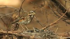 Redwing bird watching its nestlings audio recordings - stock footage
