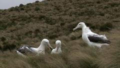 Southern Royal Albatross (Diomedea epomophora) Stock Footage