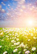 daisy field over blue cloudy sky - stock illustration