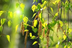 branch of a spring birch tree - stock photo