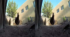 3D chickens in the chicken yard pecking Stock Footage