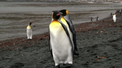 King Penguins on coastline Ross sea Stock Footage