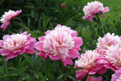 Beautiful pink peony Stock Photos