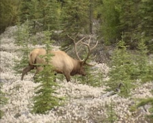 Dominant stag, Wapiti, Elk, Cervus Canadensis - moving across mountain slope Stock Footage