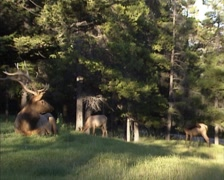 Dominant stag bugling - Wapiti, Elk, Cervus Canadensis in Banff National Park Stock Footage