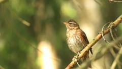 Redwing bird on branch beautiful calling Stock Footage