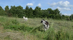 in the meadow graze goat and small black white baby goatling - stock footage