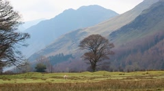 Sheep in field, Wide Picturesque view of Lake District English Countryside Stock Footage