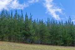 Small Pine Forest In Andes Highlands - stock photo